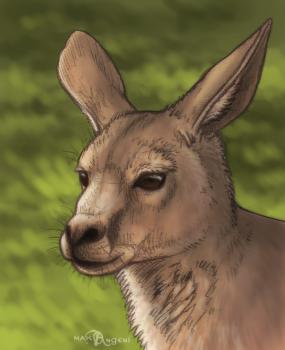 dessin de kangourou adulte termine terminé
