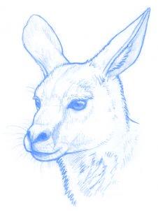 dessiner un kangourou adulte - etape 8